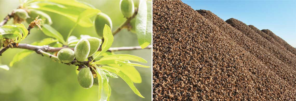 Almonds growing on branch, piles of almond hulls