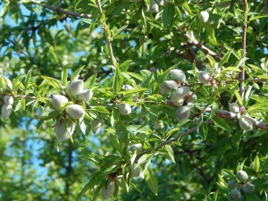 Almonds in their hulls