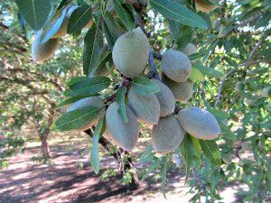 Nonpareil Nuts – Durham, CA
