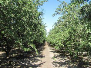 Nonpareil and Frtiz – Madera County, CA