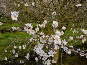 Early Nonpareil bloom near Madera